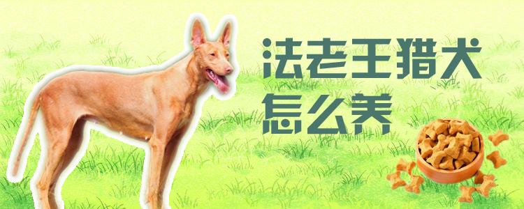 法老王猎犬怎么养