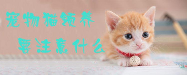 宠物猫领养要注意什么