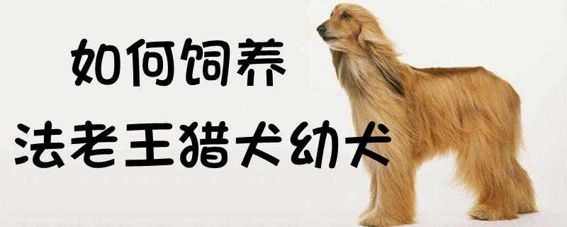 如何饲养法老王猎犬幼犬