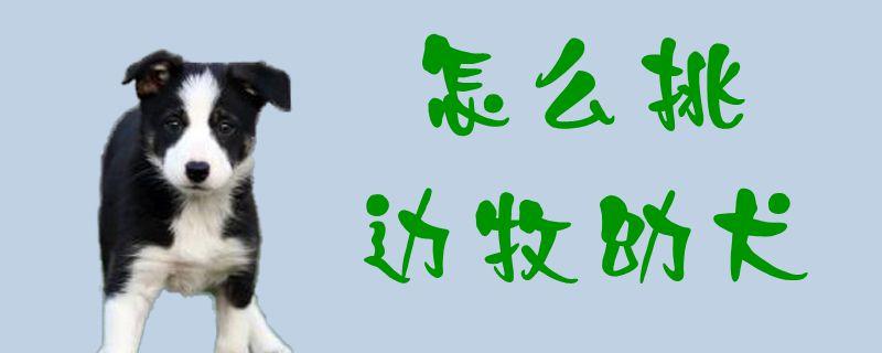 怎么挑边牧幼犬1
