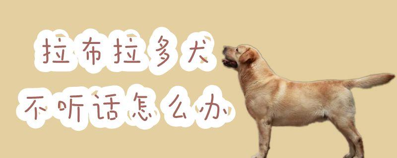 拉布拉多犬不听话怎么办