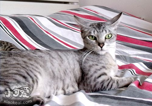 如何让埃及猫躺下 训练埃及猫躺下方法