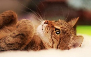 幼猫粮与成年猫粮有什么区别 二者区别介绍