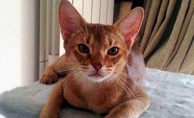 阿比西尼亚猫犯错怎么教育 阿比西尼亚猫犯错教育方法