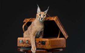如何训练埃及猫不乱抓家具 埃及猫抓家具制止办法