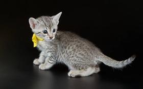 怎么训练埃及猫用马桶 详细的步骤分享