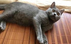 怎么训练俄罗斯蓝猫和你握手 猫猫握手训练视频