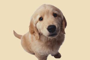 金毛犬如何养