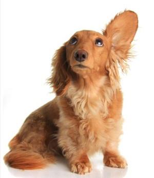 狗狗耳朵流脓怎么办