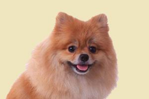 博美犬太肥了怎么办