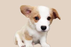 柯基犬为什么不立耳