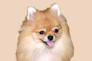 博美犬身上有味道怎么处理