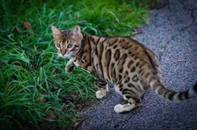 豹猫打呼噜什么原因 睡觉打呼噜要注意