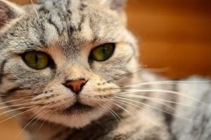 猫蠕形螨怎么治疗 猫蠕形螨治疗方法