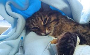 猫杯状病毒怎么治疗 猫杯状病毒治疗方法