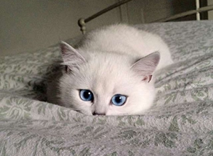 猫咪角膜炎用什么药 猫咪角膜炎用药介绍