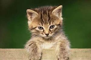 怎样治疗猫等孢球虫病 猫等孢球虫病治疗方法