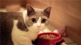 马恩岛猫尿频怎么办 尿频尿闭问题介绍