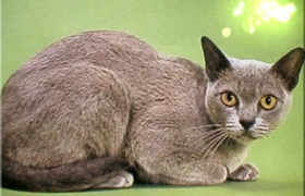 欧洲缅甸猫厌食怎么办 欧洲缅甸猫厌食解决办法