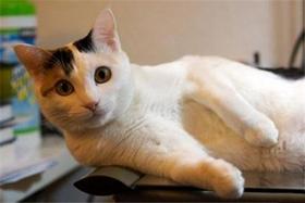 马恩岛猫有跳蚤怎么去除 跳蚤去除方法