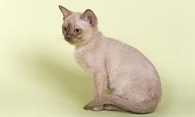欧洲缅甸猫咳嗽怎么治疗 欧洲缅甸猫咳嗽治疗方法