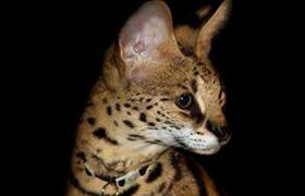 阿舍拉猫眼睛变红怎么回事 阿舍拉猫眼睛变红原因介绍