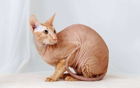 为什么彼得秃猫眼睛浑浊 彼得秃猫眼睛浑浊解决办法