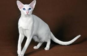 东方猫支气管炎怎么治疗 支气管炎治疗方法