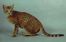 奥西猫感冒怎么治疗 奥西猫感冒治疗方法