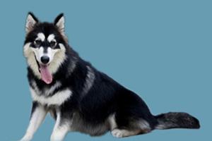 阿拉斯加犬发情怎么办