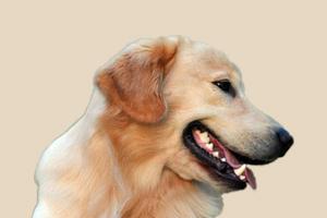 金毛耳朵有耳螨怎么治疗