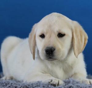 拉布拉多寻回犬翻肠子怎么办 拉布拉多翻肠子治疗方法