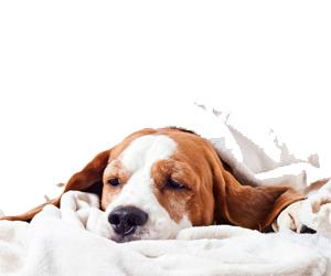 犬蛔虫病治疗方法