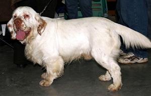 西班牙小猎犬溺水怎么办 溺水抢救方法