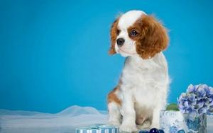 西班牙小猎犬中暑怎么办 中暑解决办法