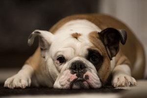 老年法斗怎么照顾 老年法国斗牛犬养护注意事项