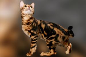 孟加拉豹猫性格怎么样