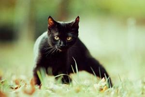 纯种孟买猫性格有什么特点
