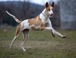 伊比赞猎犬有耳螨怎么治疗 伊比赞猎犬耳螨治疗方法