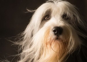 布雷猎犬感冒怎么治疗 伯瑞犬感冒护理方法