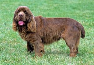 苏塞克斯猎犬发烧如何治疗 发烧治疗方法