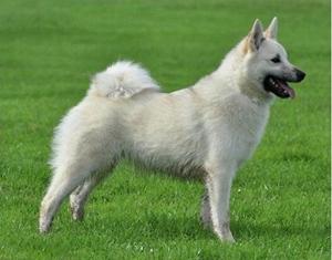 挪威布哈德犬身上有吸血虫怎么办 吸血虫消灭方法