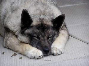 挪威布哈德犬发烧怎么办 发烧治疗方法