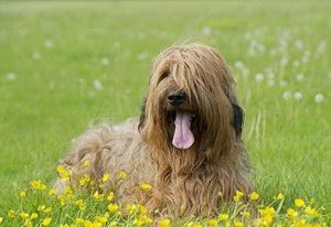 伯瑞犬怎么驱虫 布雷猎犬寄生虫防治方法