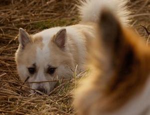 冰岛牧羊犬身上有虫怎么办 冰岛牧羊犬跳蚤解决方法