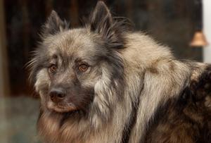 荷兰毛狮犬感冒怎么办 荷兰毛狮犬感冒治疗方法