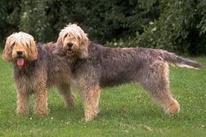 爱尔兰猎狼犬寄生虫怎么预防治疗方法