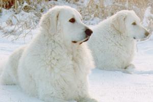 库瓦兹犬身上有细菌怎么办 库瓦兹犬细菌处理方法