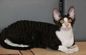 柯尼斯卷毛猫腹泻怎么处理 柯尼斯卷毛猫腹泻处理方法