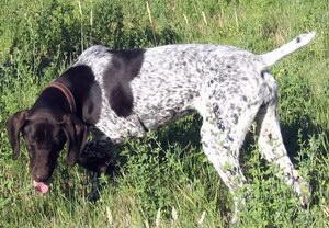 波音达猎犬感冒怎么办 波音达猎犬感冒治疗方法